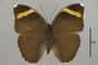 124954 Euphaedra losinga wardi d IN