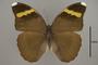 124955 Euphaedra losinga wardi d IN