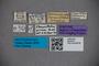 2819705 Stenaesthetus arrowi ST labels IN