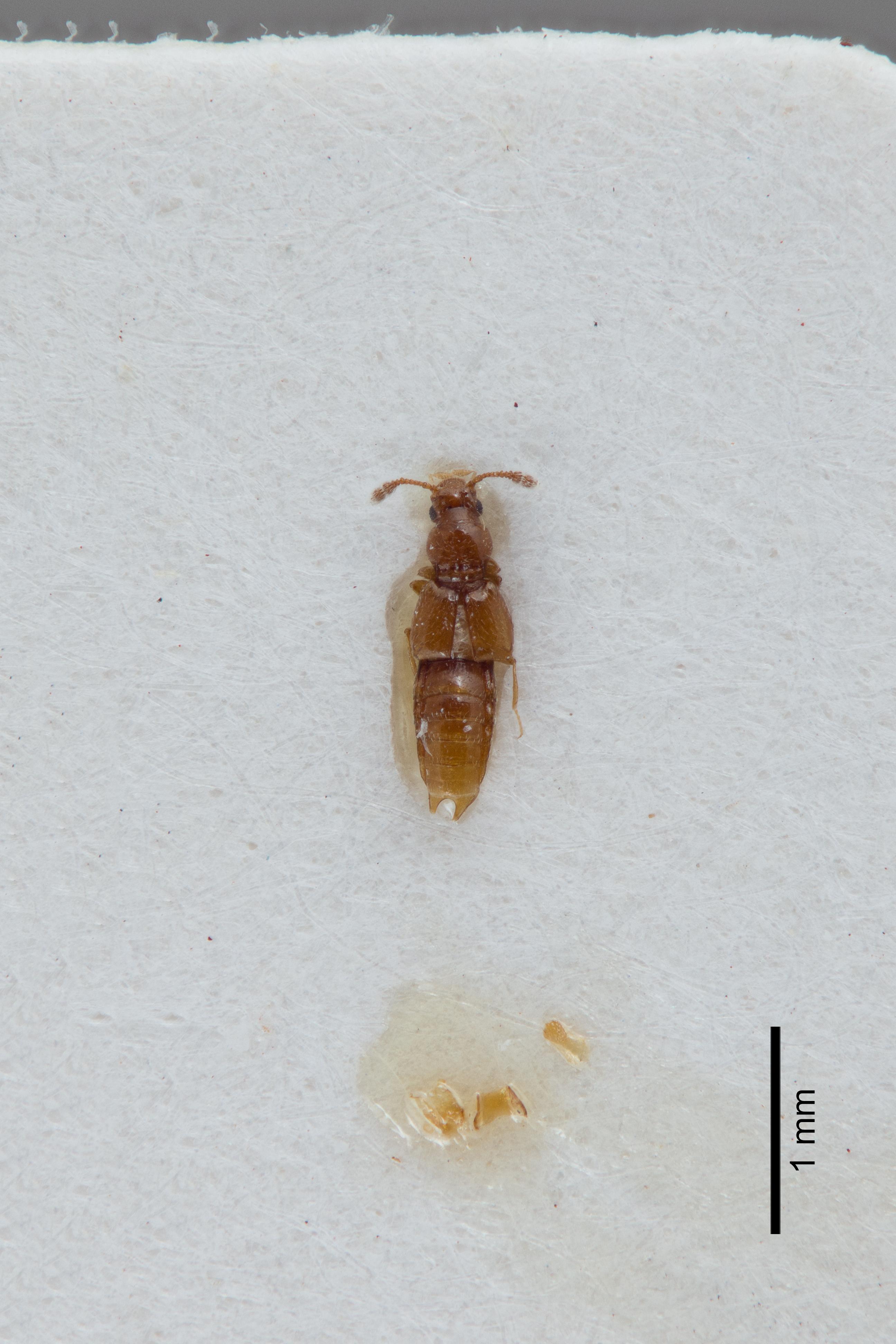 Image of Edaphus americanus