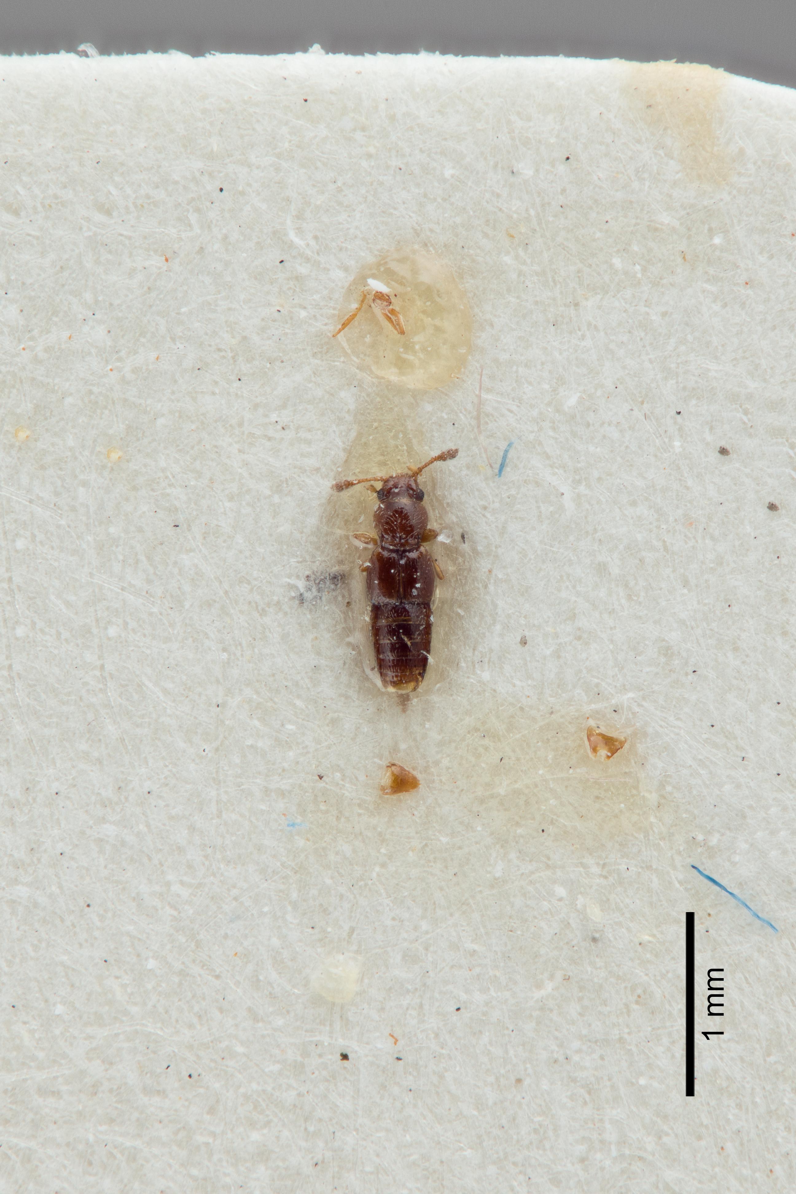 Image of Edaphus benicki