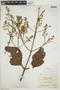 Cinchona pubescens Vahl, BOLIVIA, F