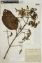 Cinchona pubescens Vahl, COLOMBIA, F