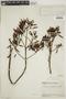 Cinchona pubescens Vahl, ECUADOR, F