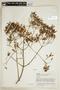 Cinchona pubescens Vahl, VENEZUELA, F