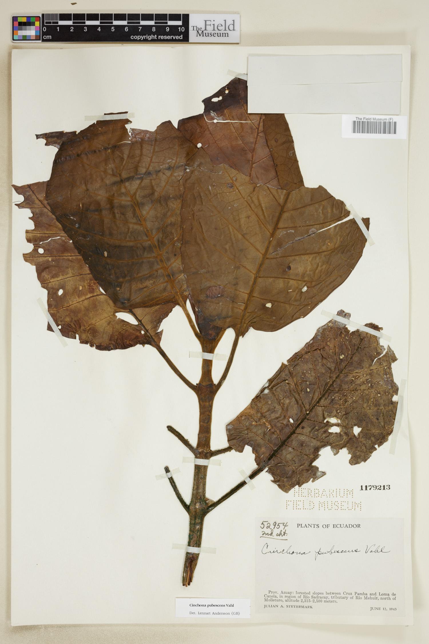 Cinchona pubescens image