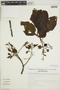 Cinchona pubescens Vahl, Peru, I. M. Sánchez Vega 4880, F