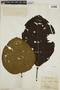 Cinchona pubescens Vahl, F