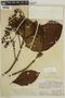 Cinchona pubescens Vahl, PERU, F