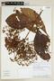 Cinchonopsis amazonica (Standl.) L. Andersson, PERU, F