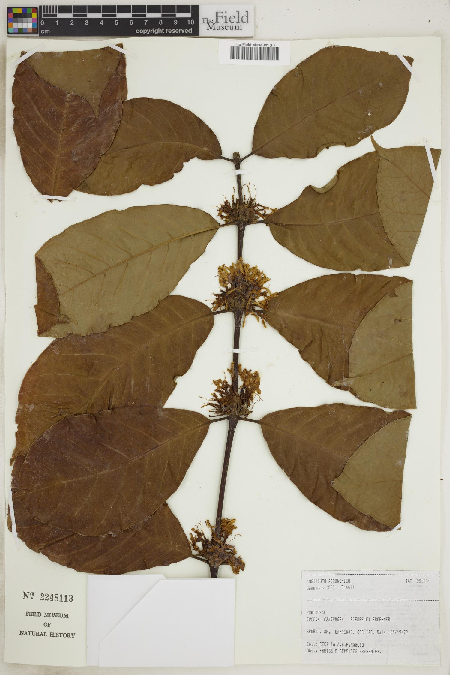 Coffea canephora image