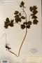 Image taken for vplants.org  project. Botanical specimen V0006549F