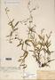 Image taken for vplants.org  project. Botanical specimen V0021529F