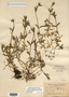 Image taken for vplants.org  project. Botanical specimen V0021542F