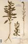 Image taken for vplants.org  project. Botanical specimen V0030252F