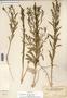 Image taken for vplants.org  project. Botanical specimen V0030266F