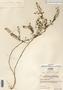 Image taken for vplants.org  project. Botanical specimen V0030267F