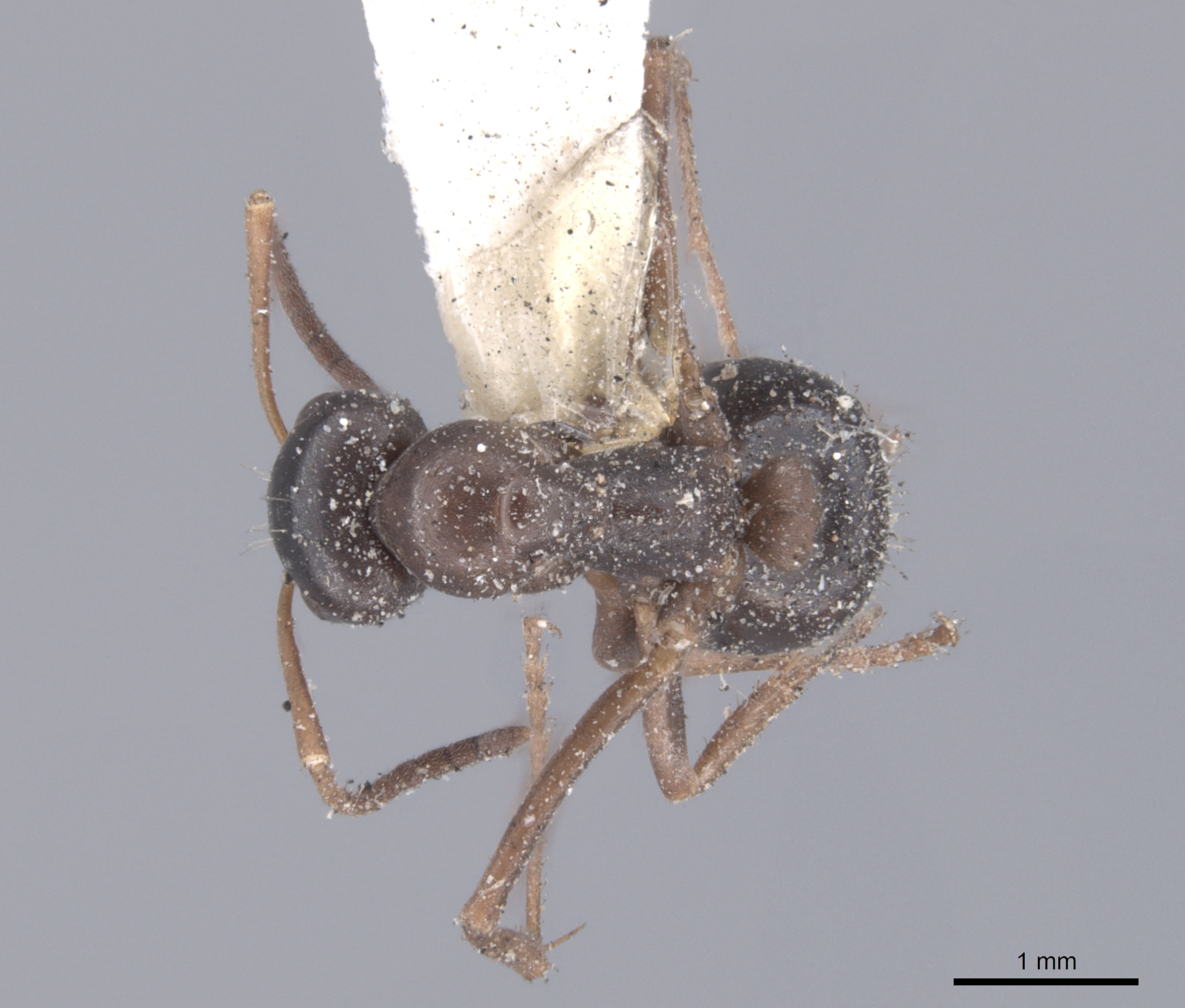 Image of Formica gagates