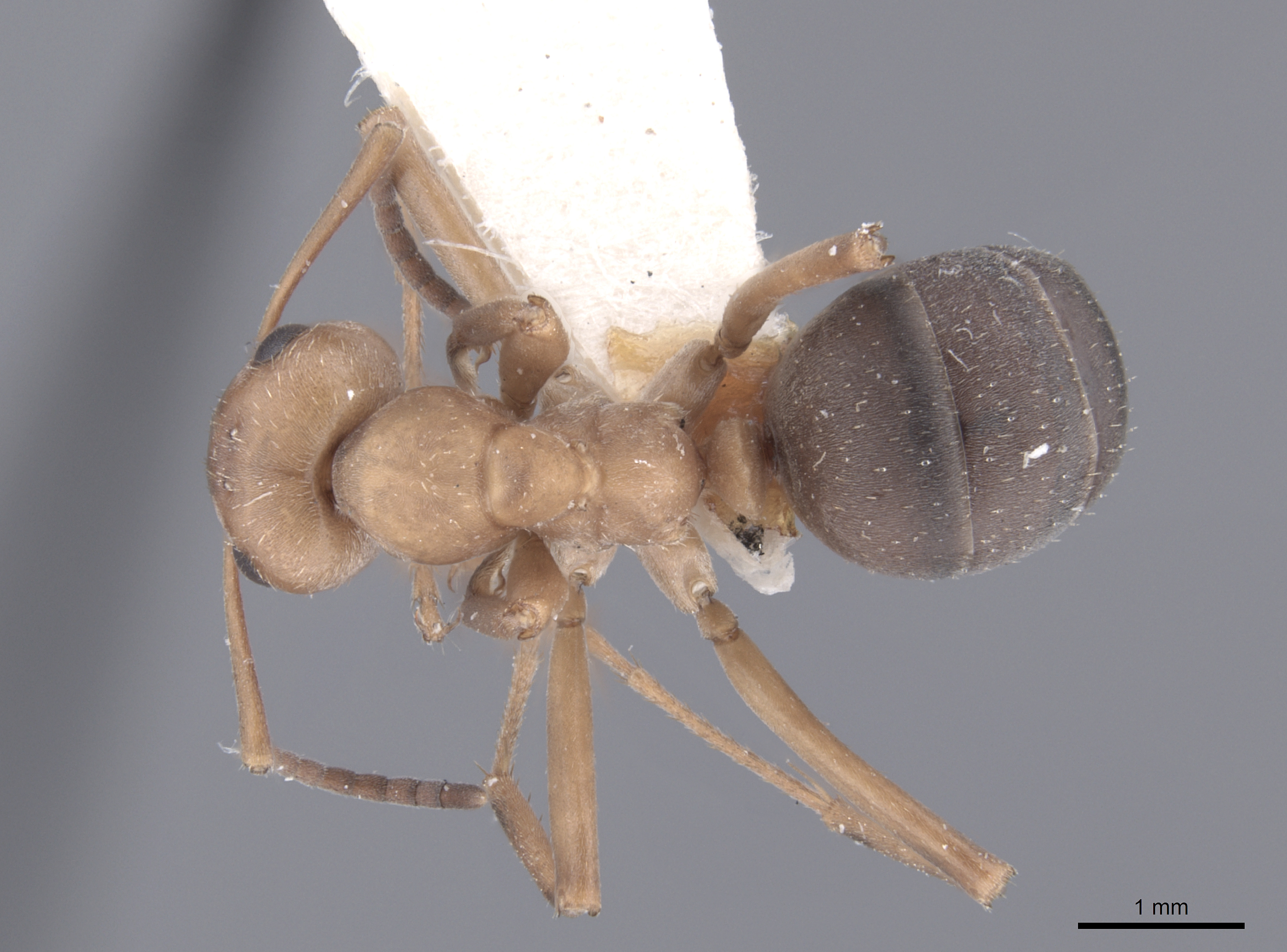 Image of Formica knighti