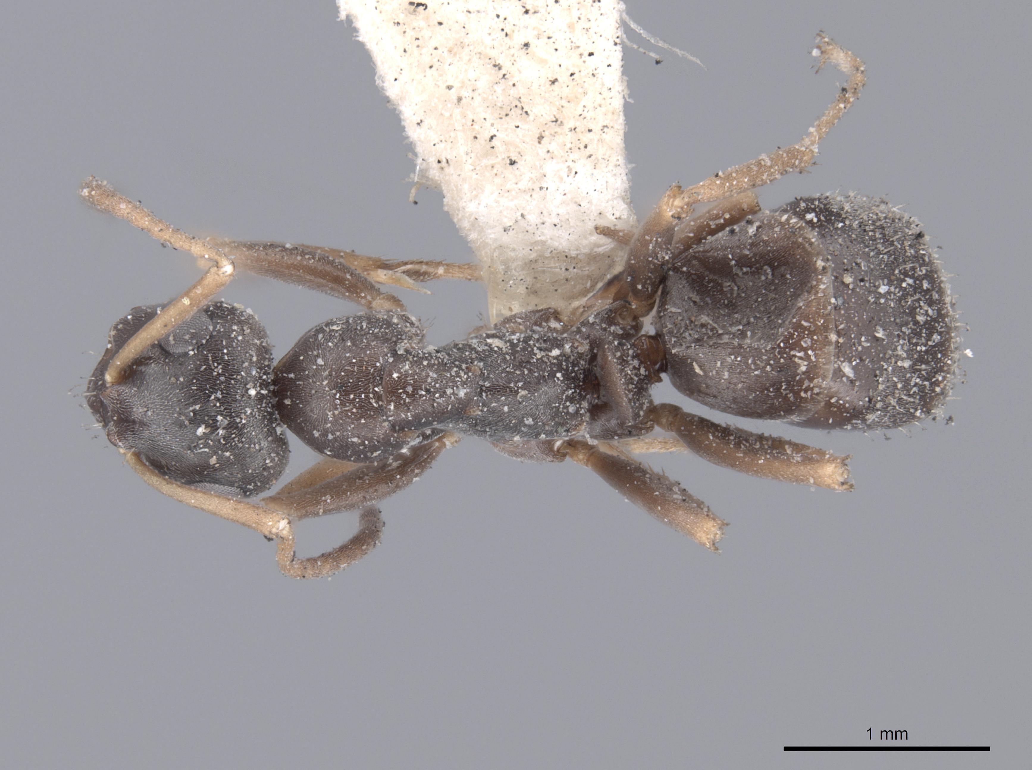 Image of Formica lemani