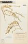 Tetragonia angustifolia Barnéoud, Chile, C. Marticorena 1911, F