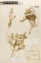 Tetragonia angustifolia Barnéoud, Chile, E. Werdermann 415, F