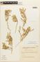 Tetragonia angustifolia Barnéoud, Chile, C. Marticorena 1858, F