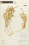 Tetragonia angustifolia Barnéoud, Chile, M. O. Dillon 5037, F