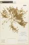 Tetragonia macrocarpa Phil., Chile, M. O. Dillon 5032, F