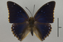 124964 Charaxes tiridates d IN