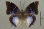 124967 Charaxes violetta d IN