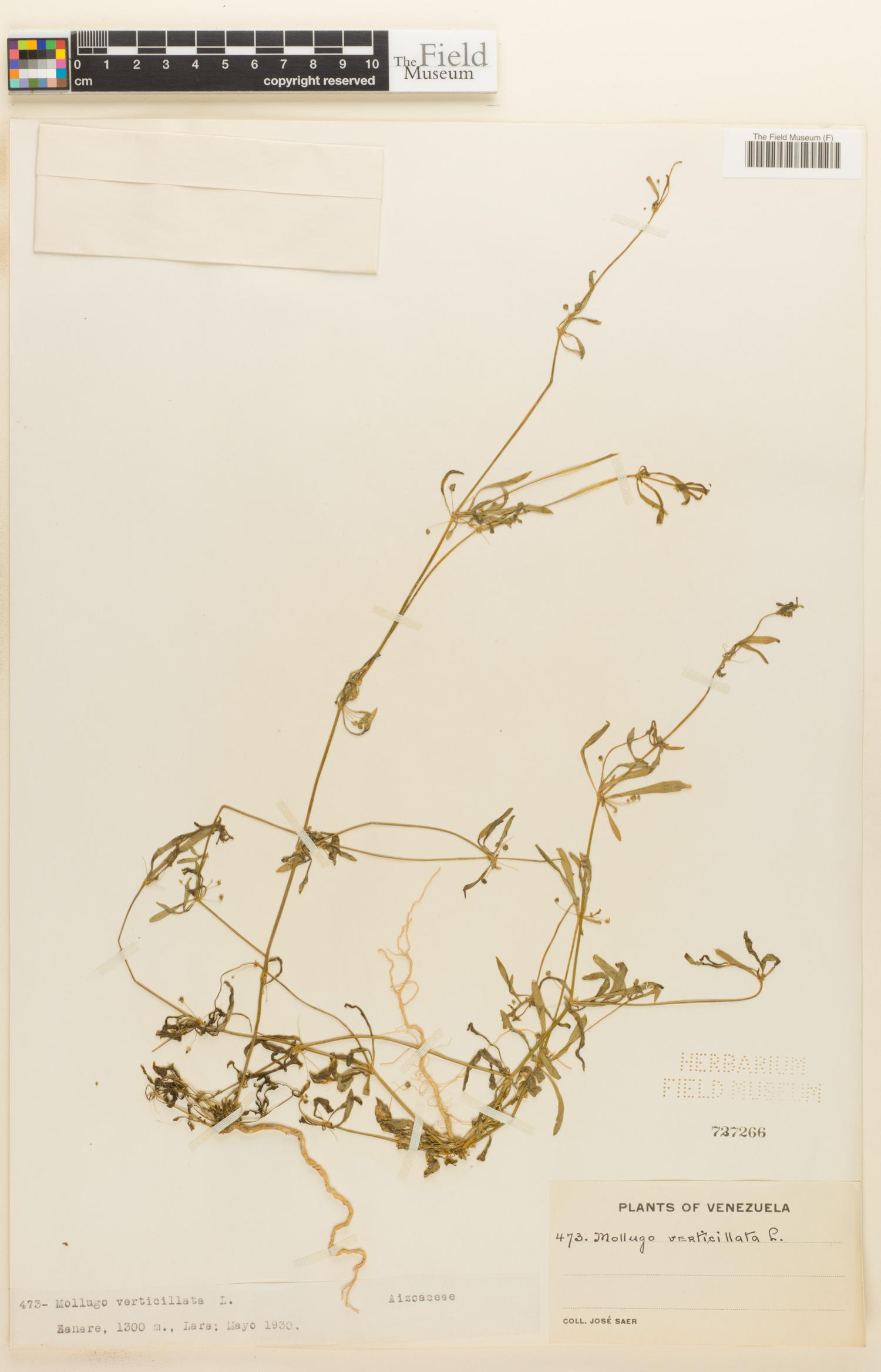 Molluginaceae image