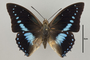 124972 Charaxes imperialis d IN