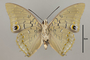 124972 Charaxes imperialis v IN
