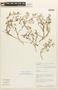 Tetragonia copiapina Phil., Chile, C. M. Taylor 10798, F