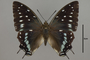 124974 Charaxes etesipe d IN