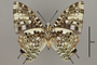 124974 Charaxes etesipe v IN