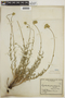 Cryptantha gnaphalioides image