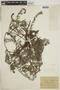 Heliotropium polyphyllum image