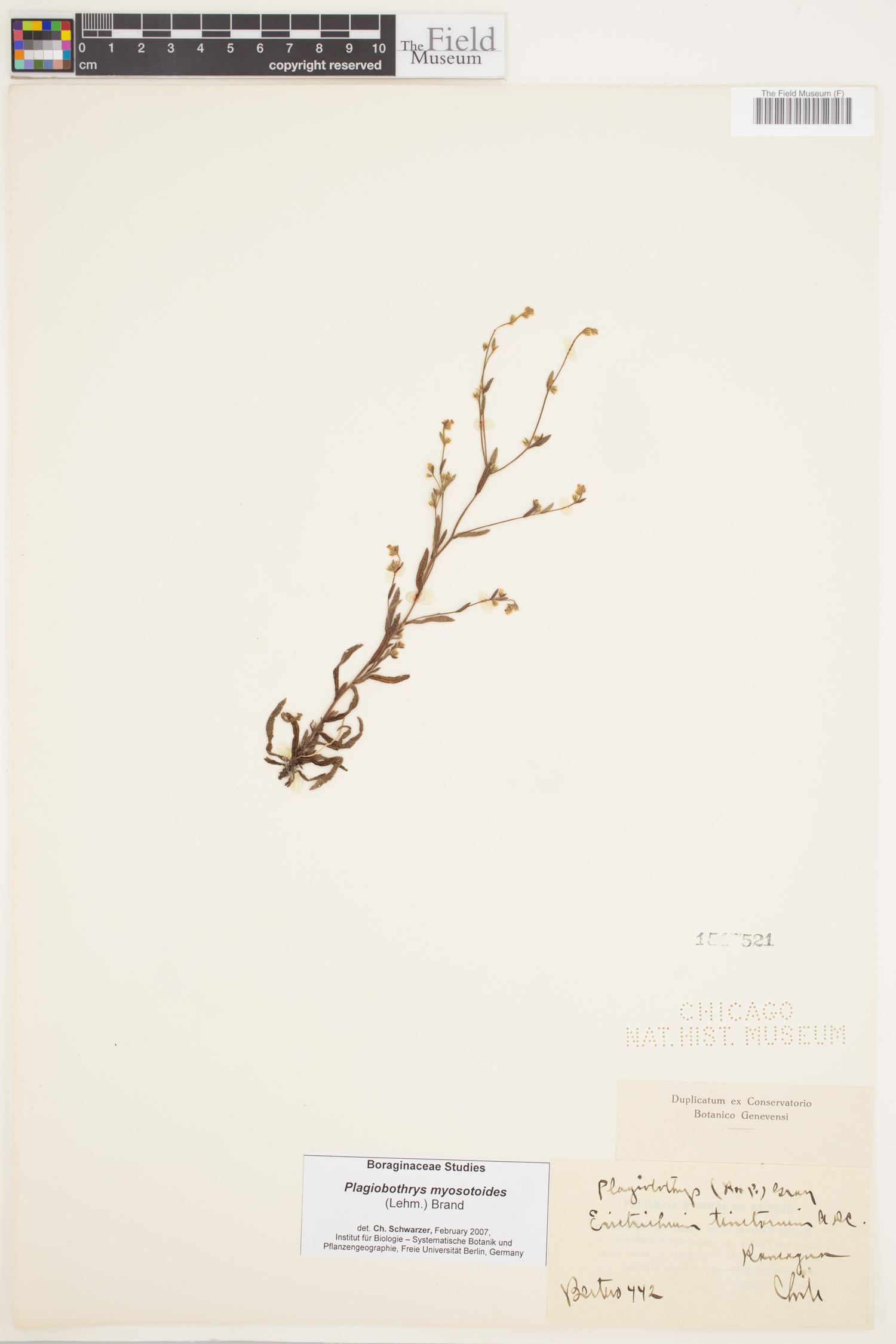Plagiobothrys myosotoides image