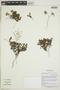 Tiquilia nesiotica image
