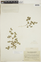 Tiquilia nuttallii (Hook.) A. T. Richardson, ARGENTINA, F