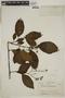 Tournefortia maculata Jacq., BRAZIL, F