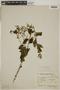 Tournefortia maculata Jacq., ARGENTINA, F