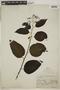 Tournefortia maculata Jacq., BOLIVIA, F