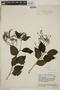 Tournefortia maculata Jacq., VENEZUELA, F