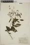 Tournefortia maculata Jacq., COLOMBIA, F