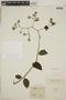 Tournefortia maculata Jacq., BRITISH GUIANA [Guyana], F