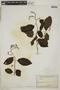 Tournefortia maculata Jacq., ECUADOR, F