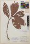 Quiina albiflora A. C. Sm., British Guiana, A. C. Smith 3414, Isotype, F